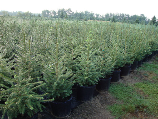 Products conifer trees minnesota picea abies norway spruce